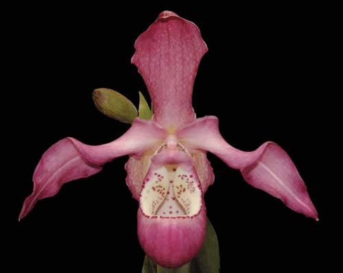 Phragmipedium Peruflora's Saltimbanco (boissierianum x kovachii)