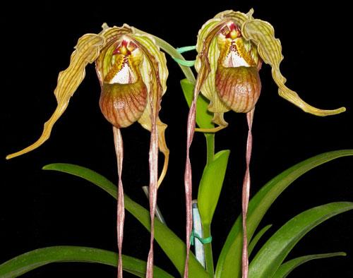 Phragmipedium caudatum var. giganteum