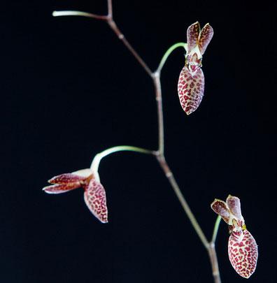 Pleurothallis arcuata