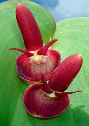 Pleurothallis calceolaris