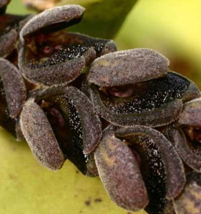 Pleurothallis saurocephala