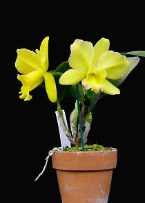 Potinara Memorial Gold ' Canary'