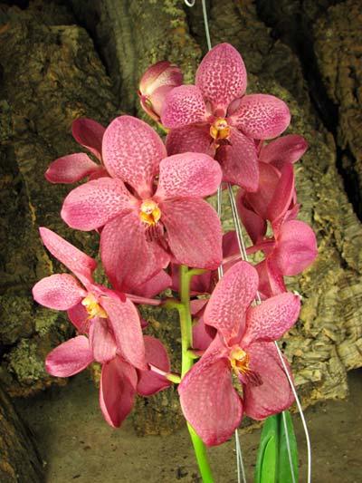 Renanthera philippinensis x Vanda Doctor Anek