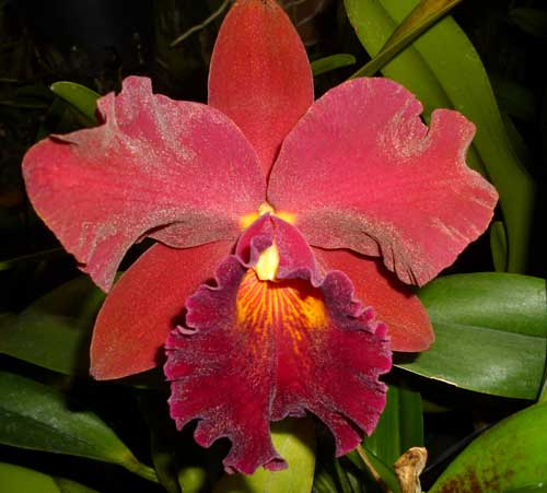 Rhyncholaeliocattleya Kat Sky Song 'Black Rose'