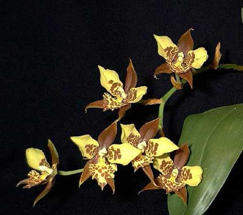 http://static.orchids.in.ua/img/rhynchostele-maculatum-foto-1140.jpg