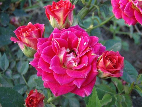 Rose Chili Clementine