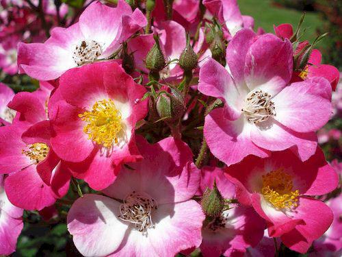 Rose Mozart