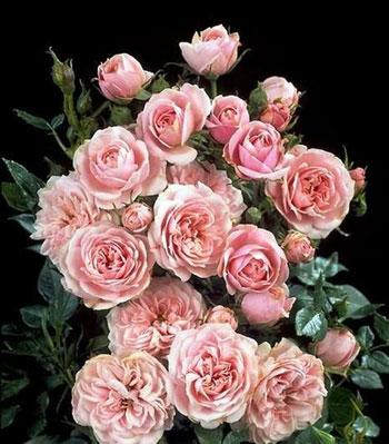 Rose Pink Hit