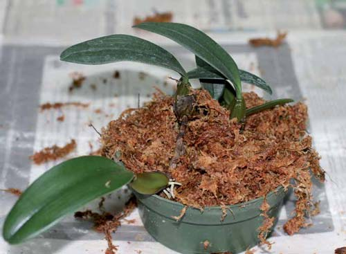 Как выращивать орхидеи. Бульбофиллумы.
