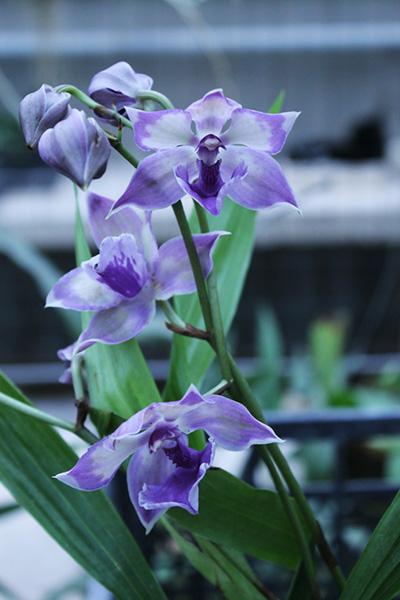 Как зацвести орхидею