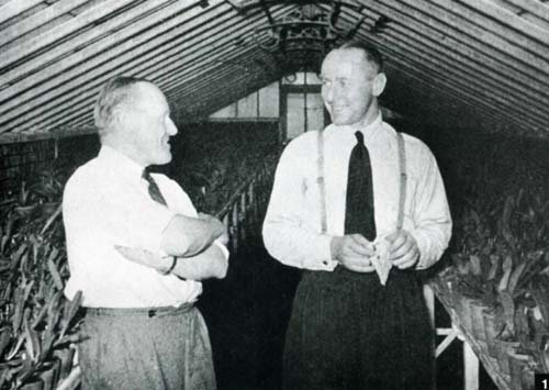 Легендарная Cattleya Bow Bells