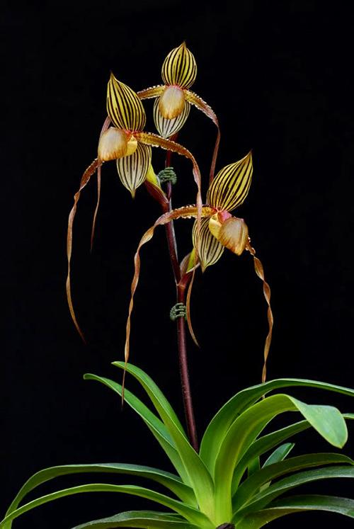 Paphiopedilum Formosa Lady (Susan Booth x sanderianum)