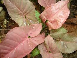 Syngonium podophyllum 'Neon Pink'
