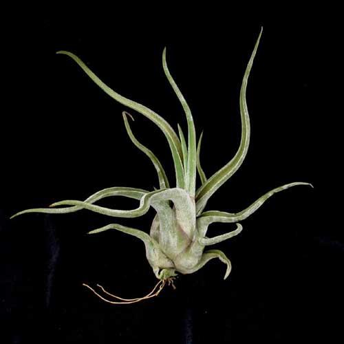 Tillandsia caput-medusae