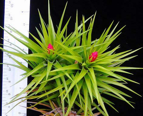Tillandsia montana