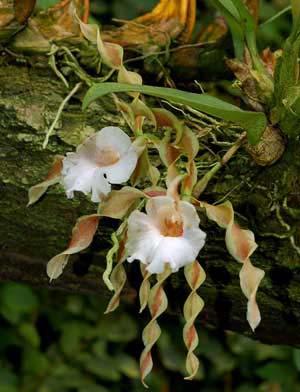 Trichopilia tortillis