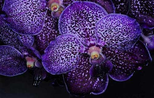 Vanda Pure's Wax 'Violet Blue'