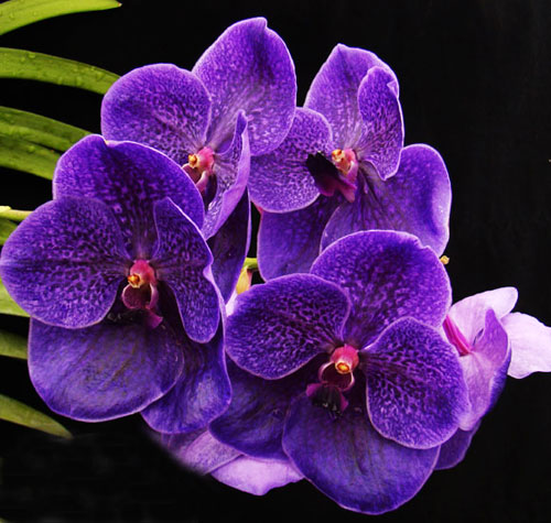 Vanda Robert Delight 'Ink Star'