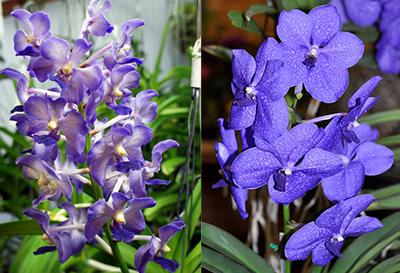 Vandachostylis Thailand x Vanda Pachara Delight 'Blue'