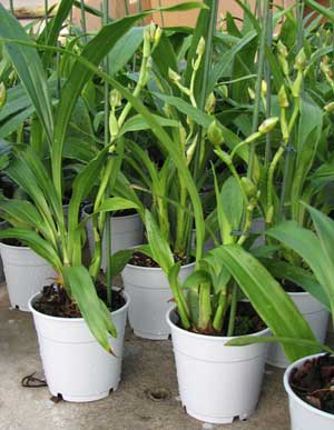Zygopetalum hybrid 'Green'