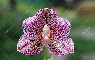 магазин орхидей фаленопсис 2