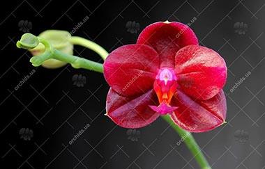 магазин орхидей фаленопсис 3