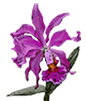 Laelia grandis labelo vinho 'Red Wine' x SELF