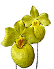 Paphiopedilum JuniorWorld x Schining World