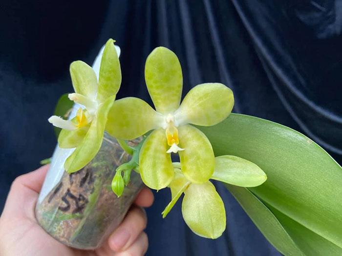 Phalaenopsis Mainshow Green Monster (seedling)