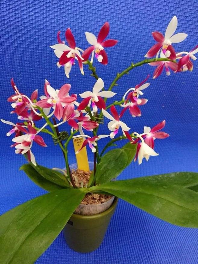 Phalaenopsis tetraspis 'C#1'