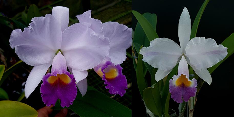 Cattleya trianae coerulea 'Tornamiz x coerulea pincelada 'Pinceles'