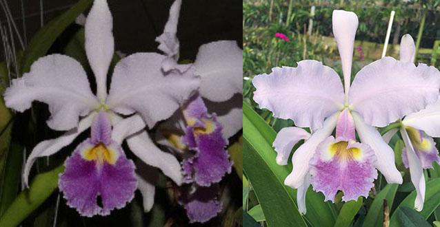 Cattleya warscewiczii coerulea 'La granja' x coerulea 'Celestina'