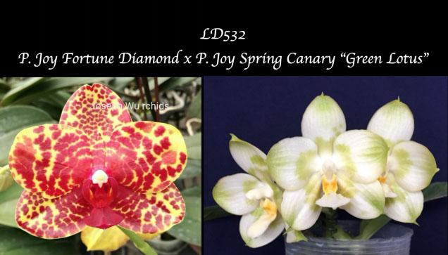 Phalaenopsis Joy Fortune Diamond x Joy х Spring Canary 'Green Lotus'
