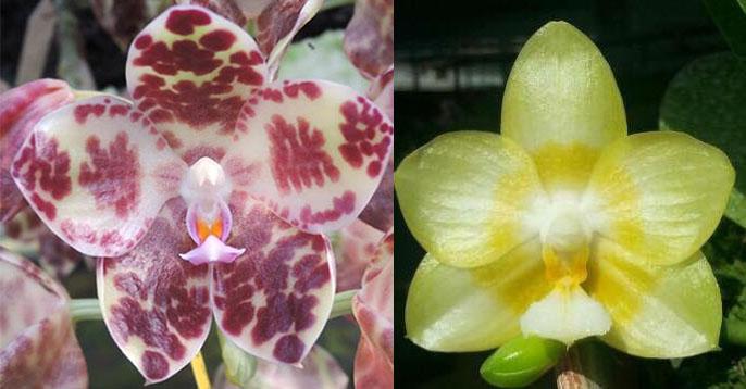 Phalaenopsis gigantea x Yaphon Lover 'Yaphon'