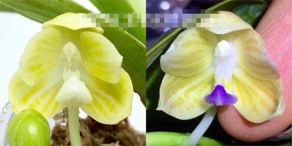 Phalaenopsis javanica alba x javanica alba 'Blue Lip'