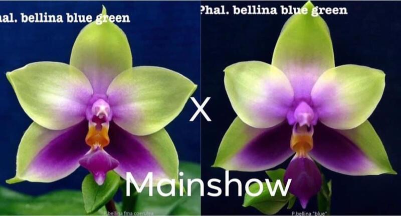 Phalaenopsis bellina coerulea green #2 x green #1