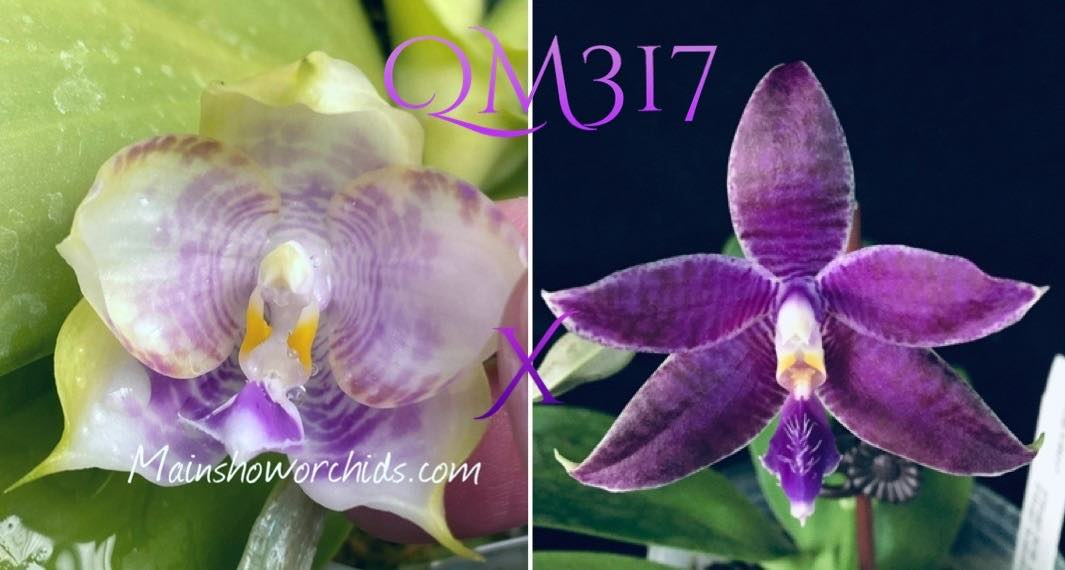 Phalaenopsis Mituo Purple Dragon 'Blue Round' x KS Blue Ludde 1607 'Super#1'