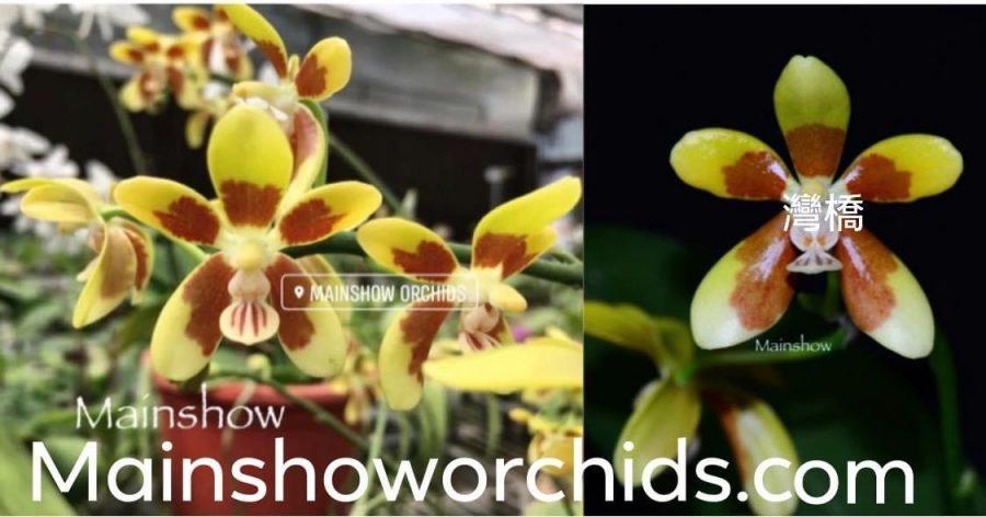 Phalaenopsis fuscata x sib