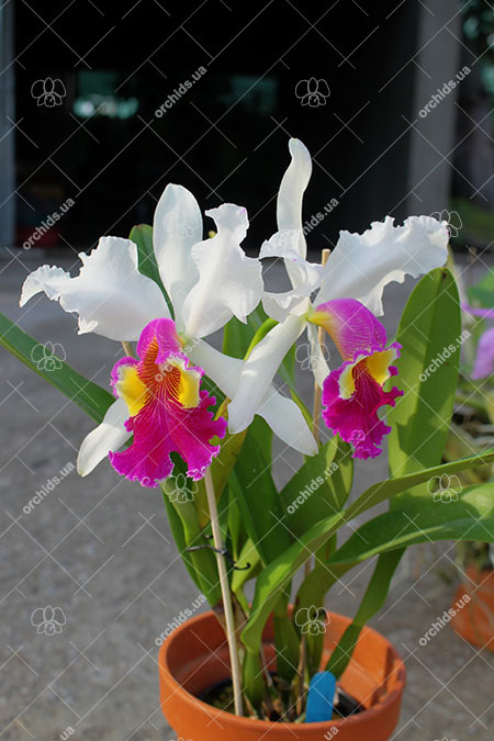 Cattleya Hardyana semi-alba (warscewiczii semi-alba x dowiana aurea)