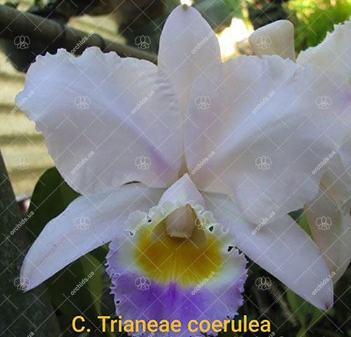 Cattleya trianae coerulea 'Taka Huyla' x coerulea 'Charly'