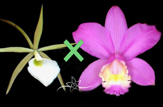 Brassavola tuberculata x Cattleya harrisoniana 'Caliman'