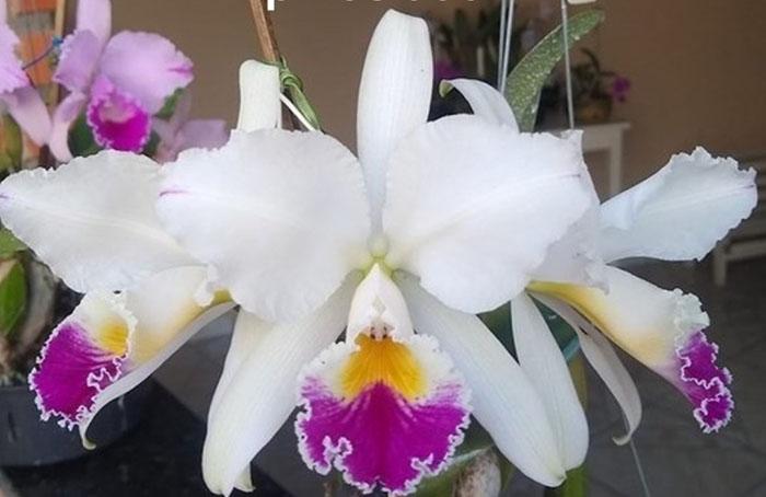 Cattleya jenmanii semi-alba pincelada 'Mantelini' x self