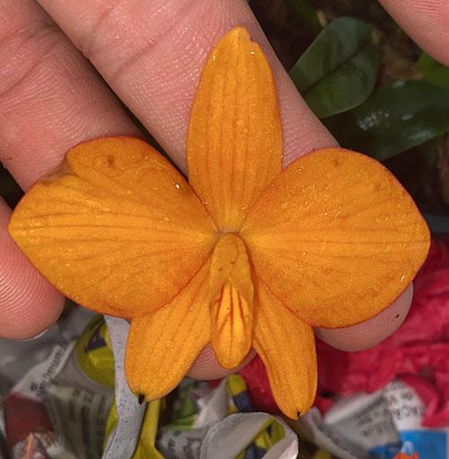 Sophronitis bicolor amarelo x self