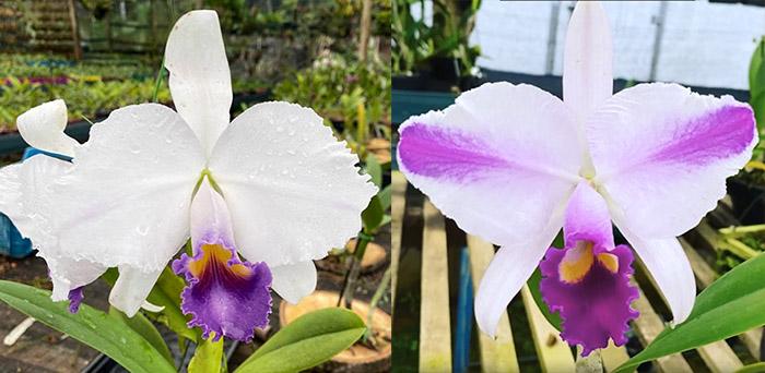 Cattleya trianae coerulea 'Caliman' x flamea 'Joaozinho'