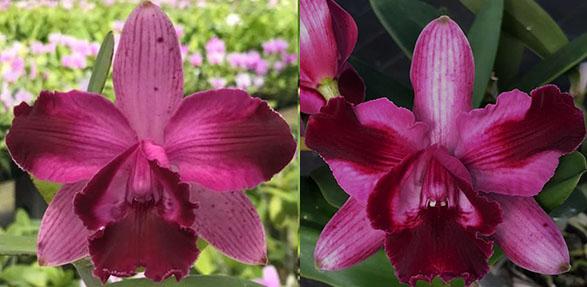 Cattleya intermedia marginata '1330 CG' x marginata '1330 Gomes'