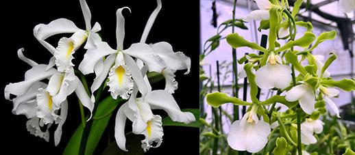 Cattleya maxima alba x Encyclia randii alba