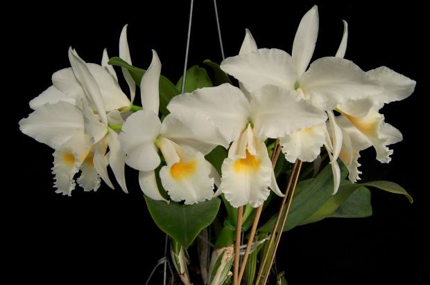 Cattleya labiata alba (K2494) x Cattleya labiata alba