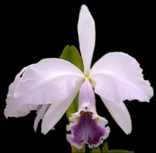 Cattleya gaskelliana coerulea 'Rainha Santa' x self