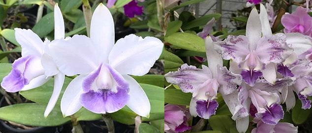 Cattleya intermedia coerulea 'Vitoria' x coerulea 'Dona Lu'