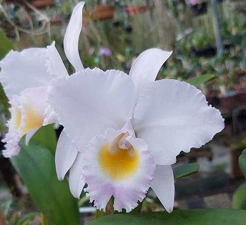 Cattleya trianae concolor x sib